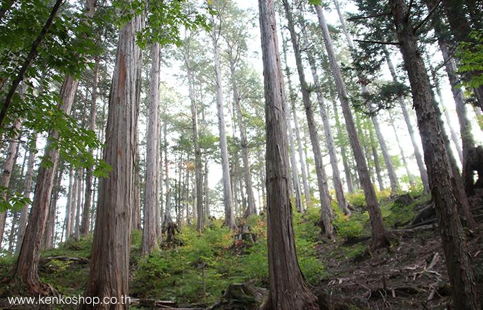 ต้นไม้หอม Hinoki ที่ญีปุ่น